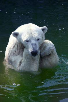 Sad polar bear in water