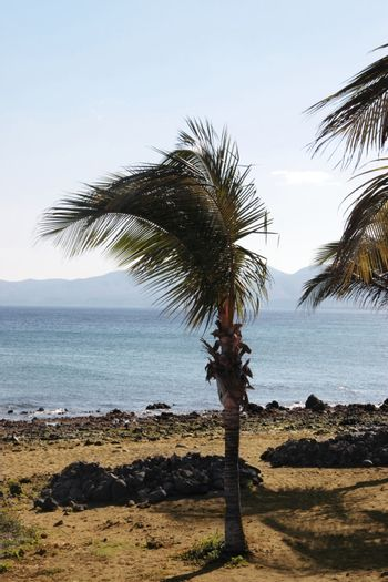 a lanzarote beach with palm tree