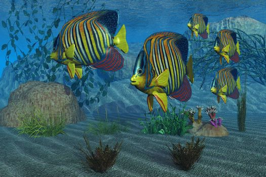 Beautiful Royal Angelfish shimmer with their gorgeous colors near a coral reef.