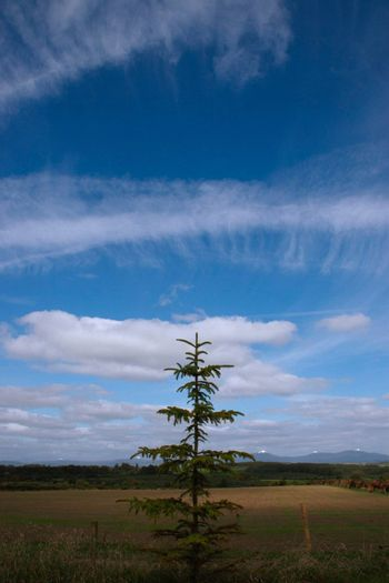 a lone conifer tree against a cloudy scenic background