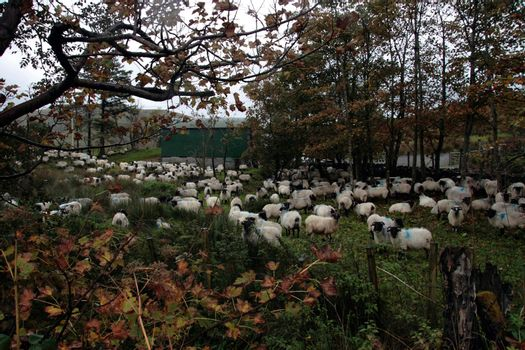 an irish farm with sheep ready for dipping