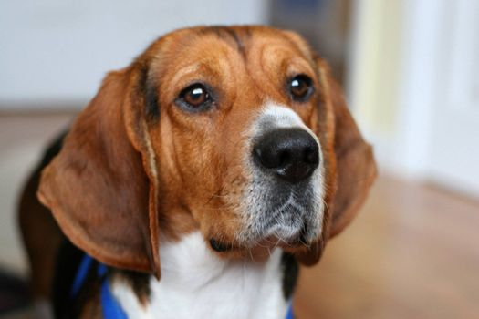 Portrait of a young beagle's face - shallow depth of field.