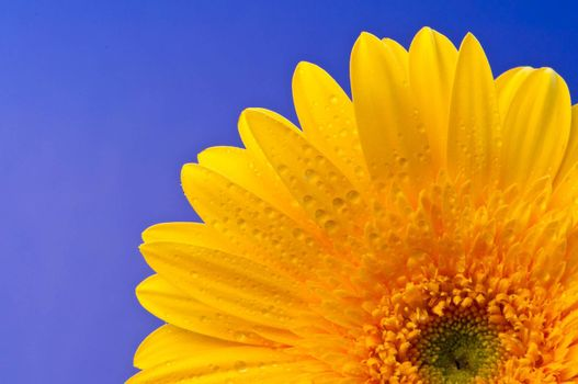 Gerbera is a genus of ornamental plants from the sunflower family (Asteraceae).