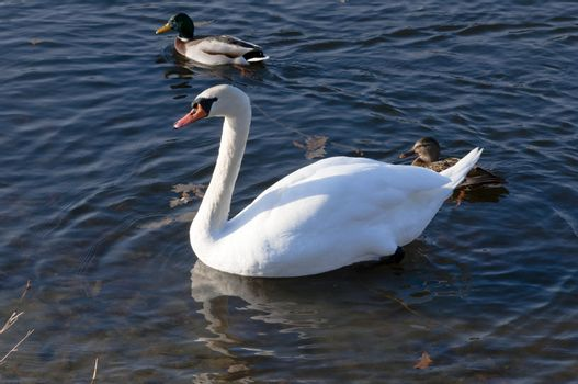 High resolution image. The swan floats on lake. White swan.