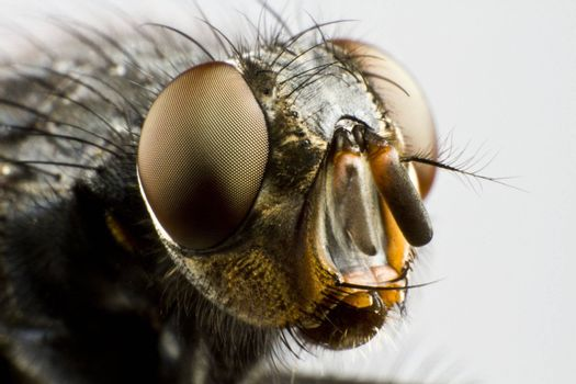 extreme close up of house fly in grey neutral background