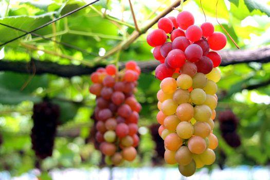 Summer grape color under the sun