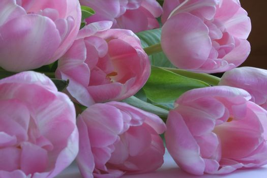 Pink tulips in sundued light