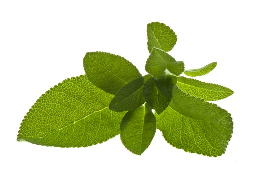 Sage on a white background.