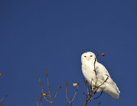 Snowy Owl perched in tree