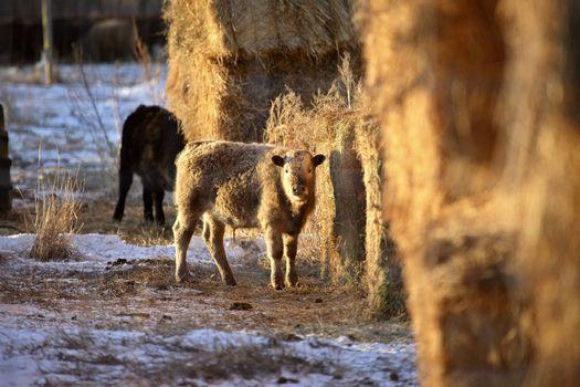 Urial Sheep ewe near hay bales in winter