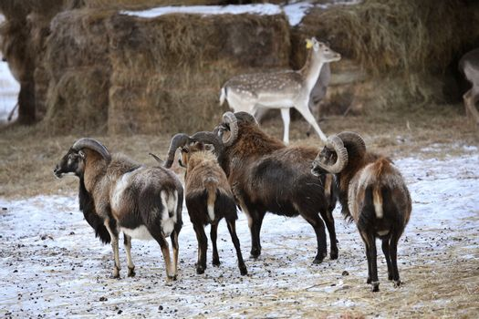 Urial Sheep with Sitka Deer in winter