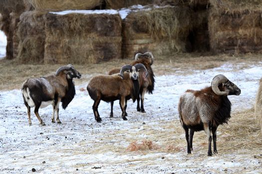 Urial Sheep in winter