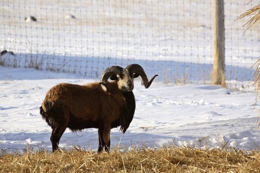 Urial Sheep ram near hay bale in winter