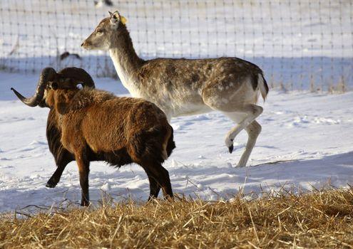 Urial Sheep ram beside Sitka Deer in winter