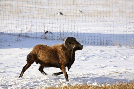 Urial Sheep ram in winter