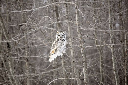 Owl perched in tree in winter