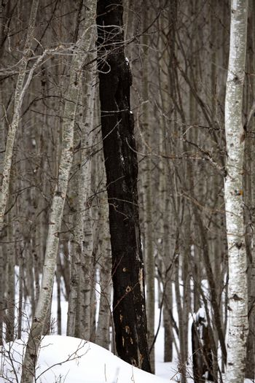 One burned tree in an aspen forest in winter