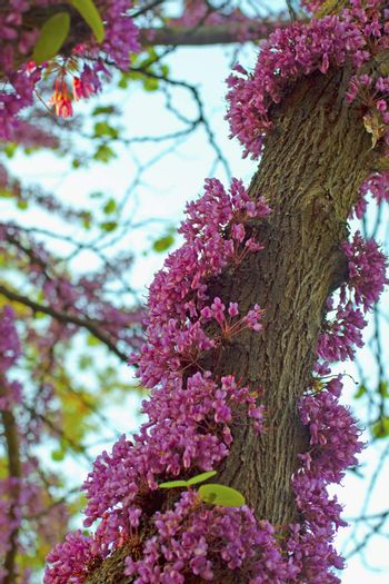 Pink cherry tree with flowers growing on trunk