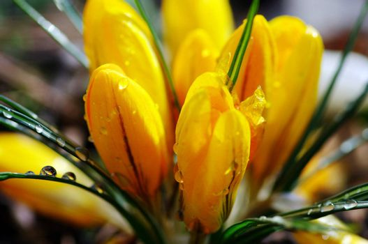 A bright yellow crocus flower in the spring sunshine