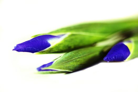 Blue and green Iris isolated on white background.