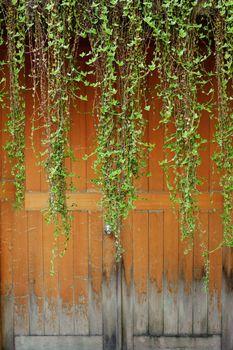 Green ivies over old door