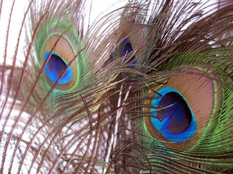 a nice arrangement of peacock feathers over white