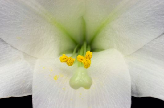 Stamen and Pollen In an Easter Lily (lilium longiflorum)
