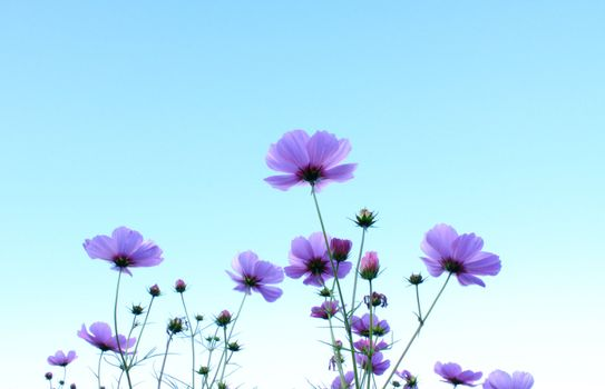 Beautiful Pink flower with blue sky