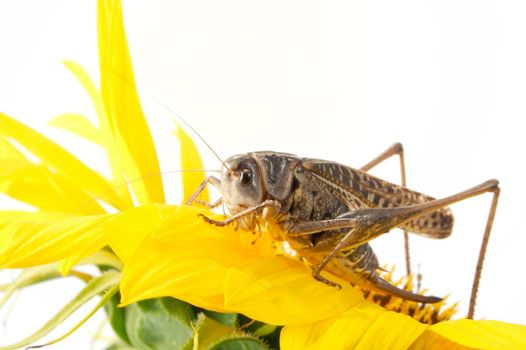 Photographing of a large locust in studio conditions