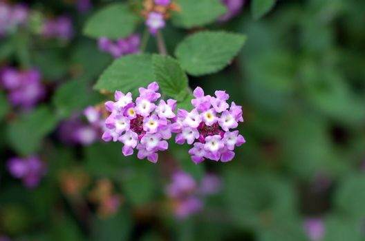 purple lantana florets flower