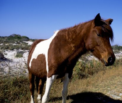 Wild ponies in Assateague Island