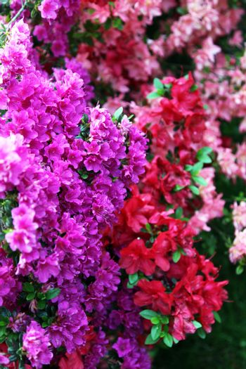 different Rhododendron - blooming