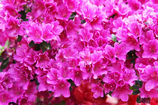 Red and pink rhododendron