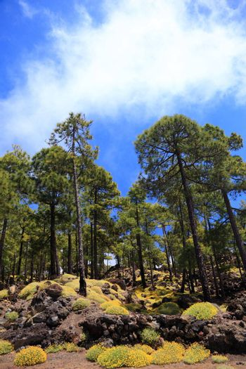 Tenerife forest landscape on volcano Teide, Tenerife, Canary Islands, Spain.