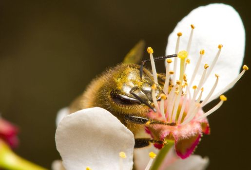 honeybee pollinating flowers, macro shot