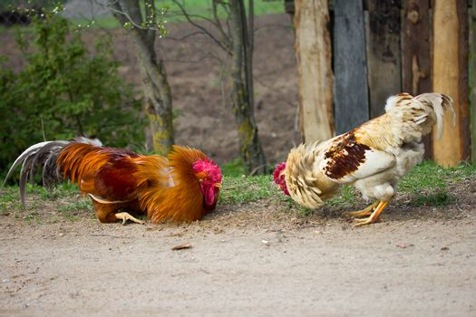 two cocks look at each other, ready for fight