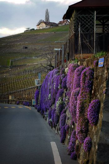 Vertical image of purple flowers growing on stone fence along a road in the countryside outside of Lausanne with Vineyards on a hill in the background.