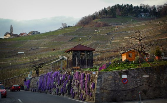 Landscape image of purple flowers growing on stone fence along a road in the countryside outside of Lausanne with Vineyards on a hill in the background.
