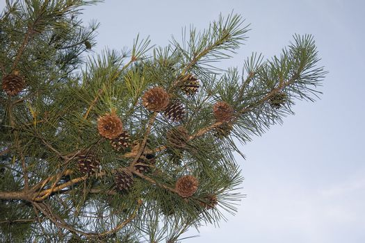 Pines cones on the evergreen ready to drop to the ground.