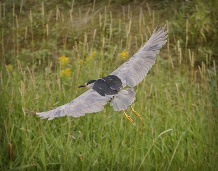 Black Crowned Night Heron in flight over marsh