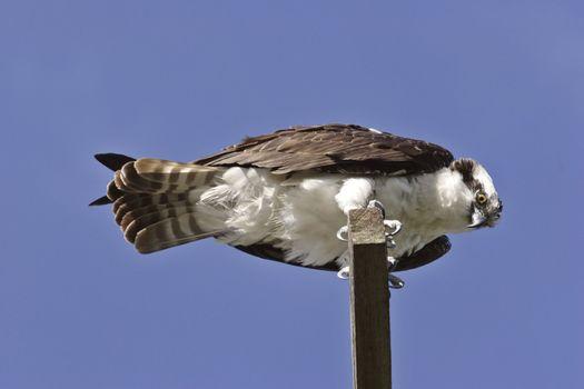 Osprey perched on roadside post