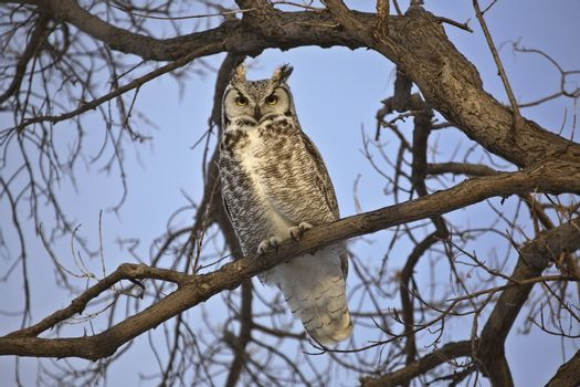 Great Horned Owl perrched on branch