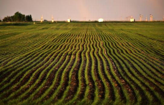 Neat rows of new growing grain crop