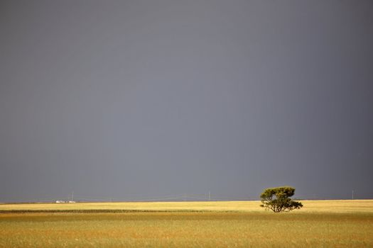 Lone tree on the Prairie
