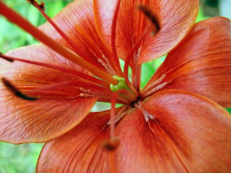 A macro shot of a nice, red lily.