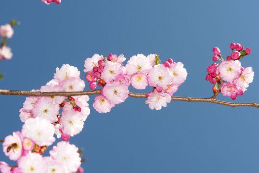 Cherry blossoms against a blue sky...