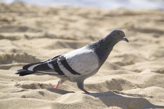 pingeon at the beach