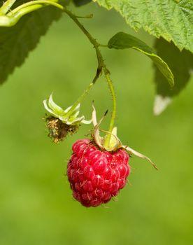 ripe raspberry on green background