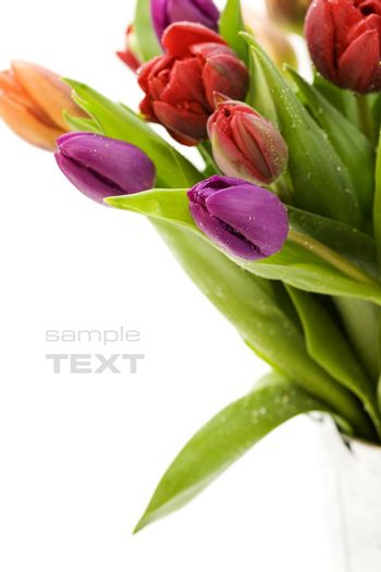 fresh tulips with water droplets on white background