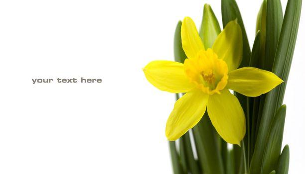 Fresh daffodil